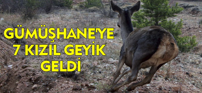 GÜMÜŞHANE'YE 7 KIZIL GEYİK GELDİ