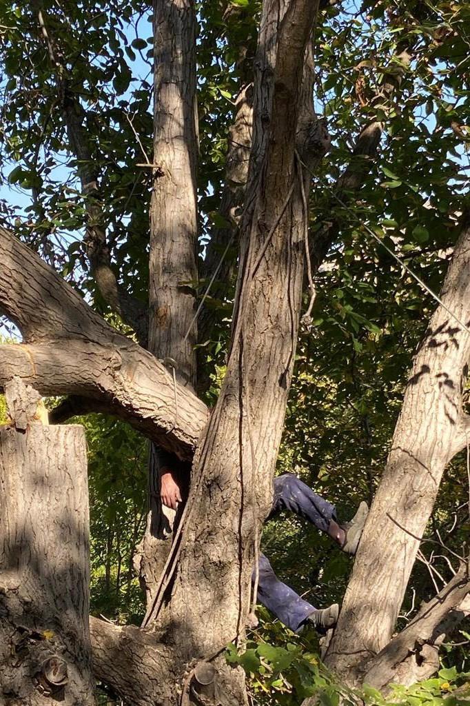 Kestiği Ceviz Ağacı Canına Mal Oluyordu