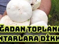 DOĞADAN TOPLANAN MANTARLARA DİKKAT